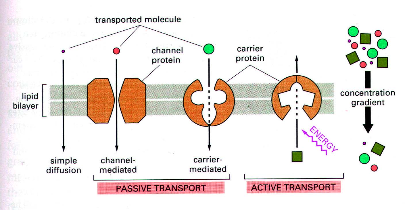 12knights is a dp biology wiki 923 explain the process of note symport is a form of active transport moving anion and cation against gradient pooptronica