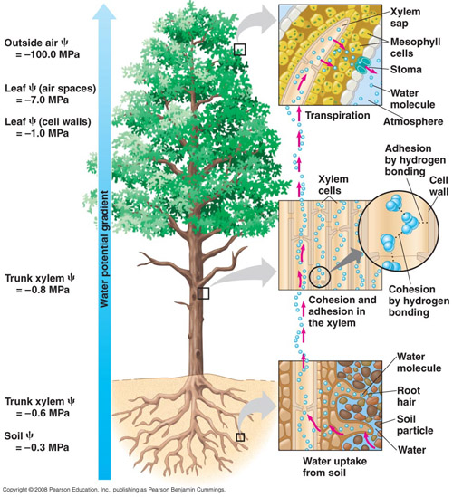 xylem and phloem. of xylem vessels,
