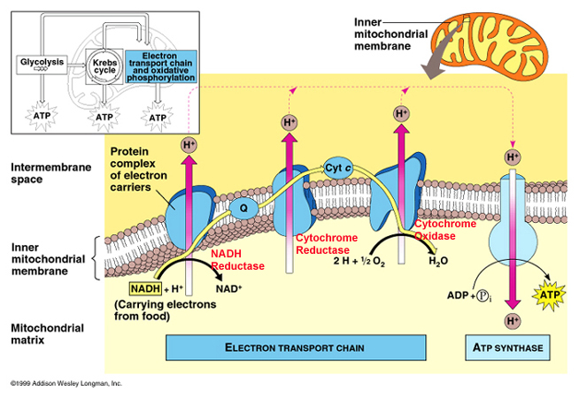 atp formation is coupled to electron This cycle deposits energy in the reduced coenzymes which transfer that energy through what is called the electron transport atp this series of coupled.